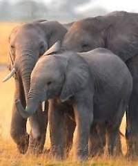 Over 20,000 African elephants poached in 2013
