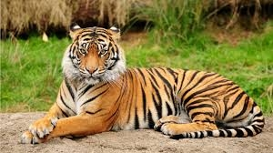 India's tigers come roaring back according to new report