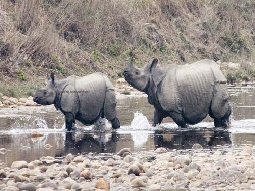 Rhino population reached 645 in Nepal