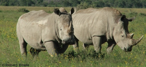 1,338 rhinos killed across Africa in 2015 : IUCN