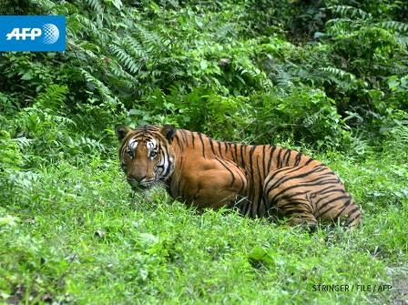 Global wild tiger count rises for first time in 100 years
