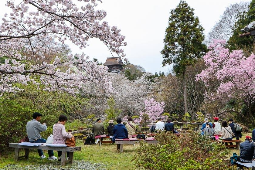 People enjoying Cherry blossom in Japan